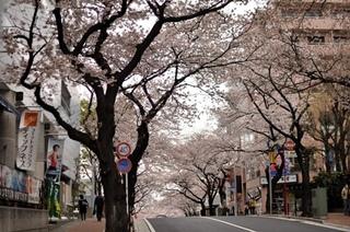 染井吉野(1).jpg