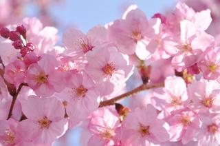 陽光桜(1).jpg