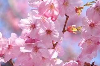 陽光桜(2).jpg