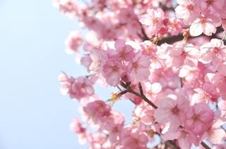 陽光桜(3).jpg